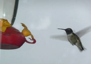 June2011/hummingbird1.jpg